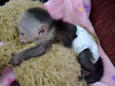 Adopt Your Baby Capuchin Male Monkey