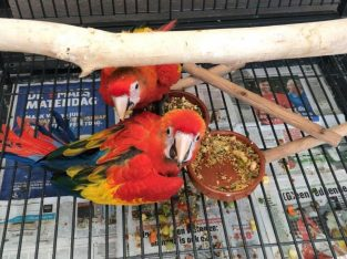 Scarlet Macaw Parrots 4 Rehoming