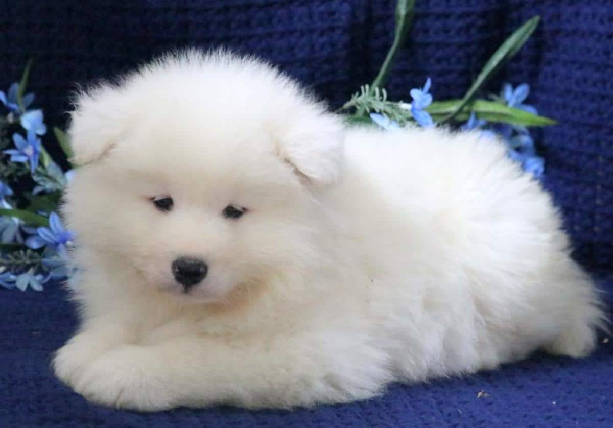 Cutie Samoyed Puppies For Sale..