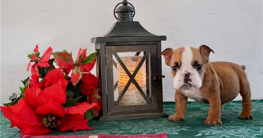 Lovely male and female English bulldog puppies