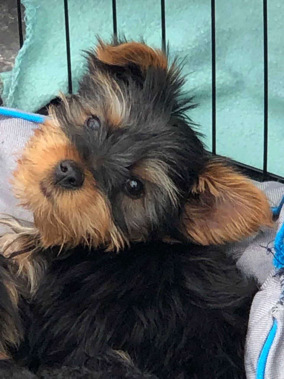 Cute Male and Female Yorkie Yorkie Puppies For Reh