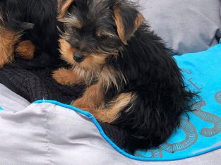 Purebred Teacup Yorkie Yorkie Puppies For Rehome