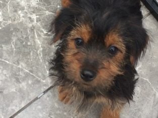 Charming Teacup yorkie Puppies Available We have
