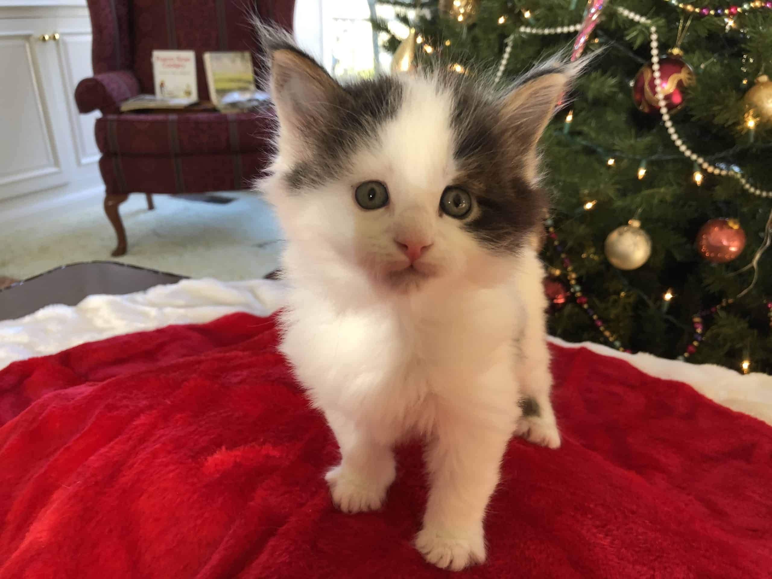 Maine Coon Kittens for Sale