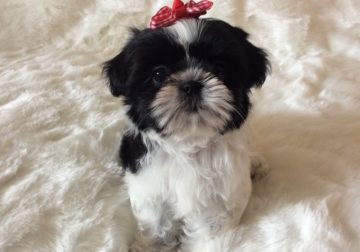 ADORABLE SHIHTZU PUPPY