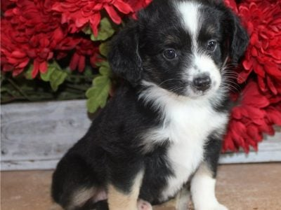 Charming male and female Australian Shepherd puppi