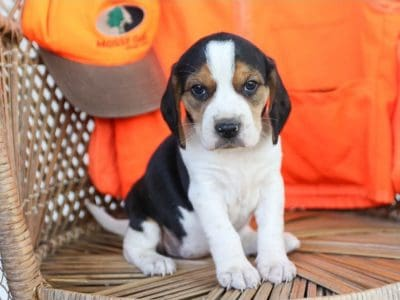 Cute and lovely male and female Beagle puppies