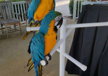 blue and gold macaw parrot pair