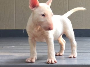 Amazing male and female Bull-terrier puppies.