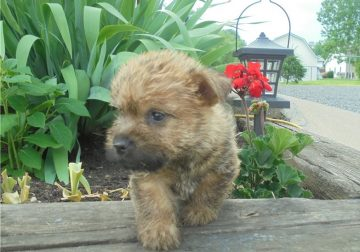 Amazing male and female Cairn Terrier puppies.