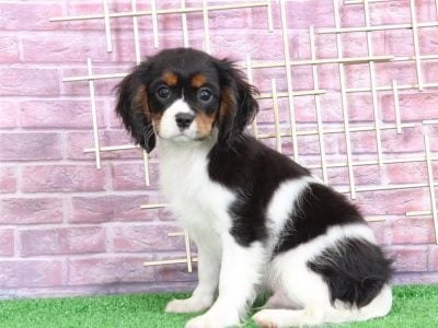 Amazing Male and female Cavalier King Charles pupp