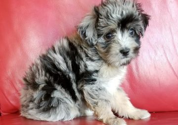 Healthy Australian Shepherd puppies available