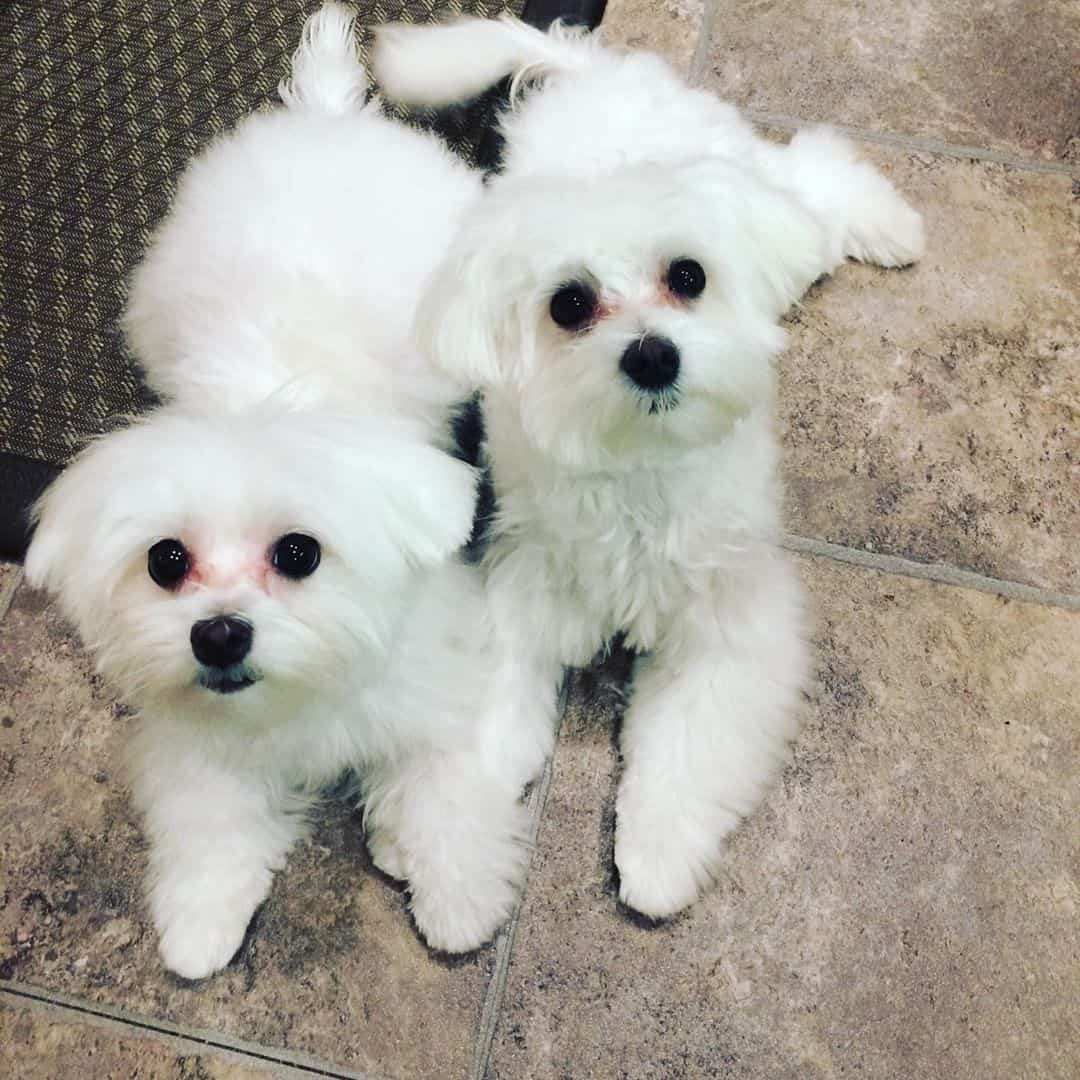 Cute male and female Maltese puppies for adoption