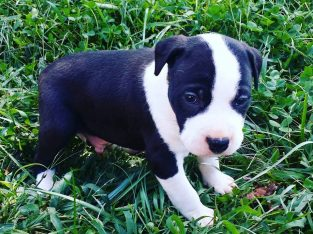 Pittbull puppies available