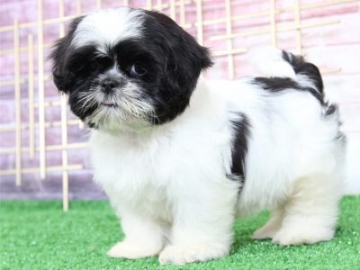 Gorgeous Male and Female Shih Tzu puppies.