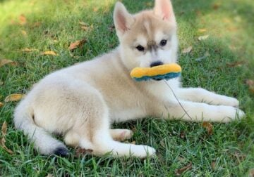 sweet siberian husky puppies need a home