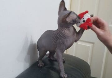 Canadian sphynx cats so adorable