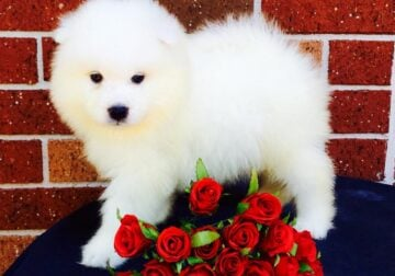 Sweet Samoyed puppies for adoption