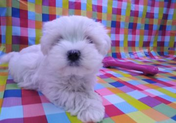 Charming Maltese puppy Available for re-homing