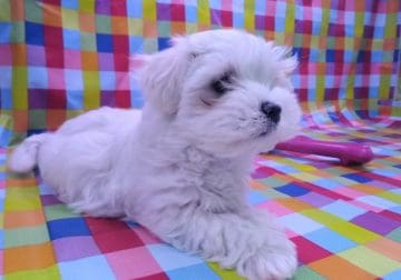 Maltipoo puppies 10 weeks