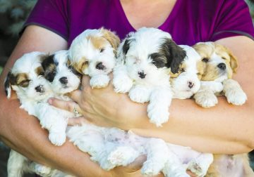 Teddy Bear Puppies (Shichons)