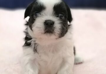 ABUNDANT Shih Tzu puppies for sale