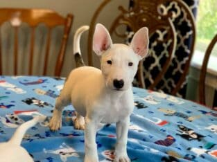 Mini English bull terrier puppies