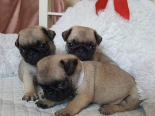 Pug puppy for sale and adoption
