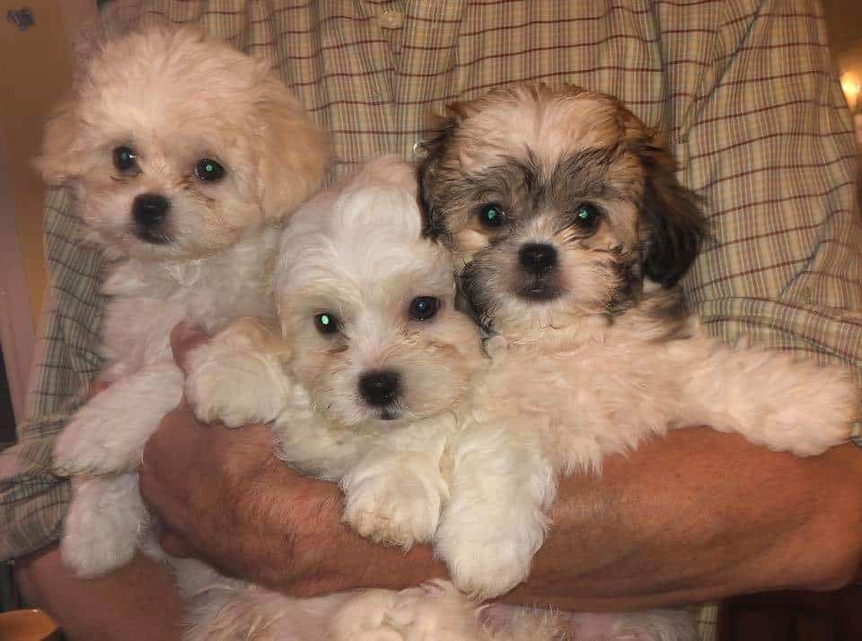 Teddy Bear Puppies for sale and adoption