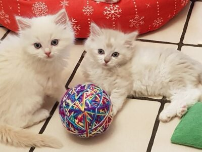 White Ragdoll kittens for sale