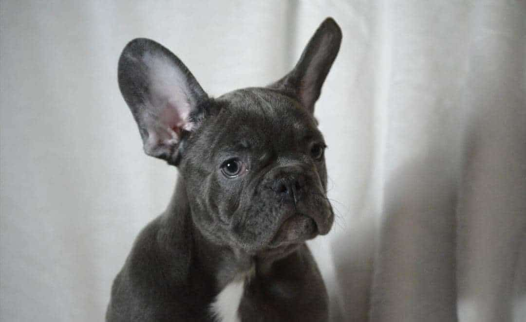 TOP QUALITY EXOTIC BLUE AKC EURO IMPORT FRENCHIES