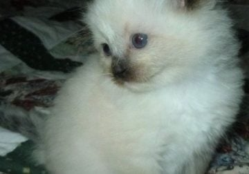 Beautiful 5 Ragdoll Kittens ready for good homes