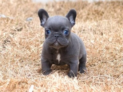 Blue Eyes French Bulldog Puppies for sale