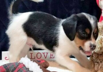 AFFECTIONATE Beagle puppies for sale