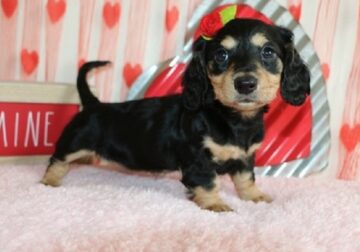 ALLOWING Miniature Dachshund puppies available