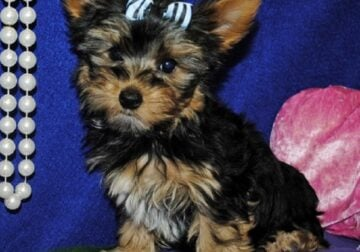 AMIABLE Yorkie puppies for sale
