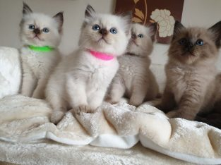 7 Ragdoll Kittens all ready for good homes only