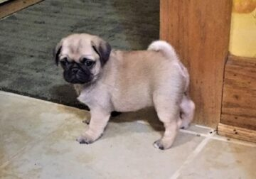 ADORED Pug puppies available
