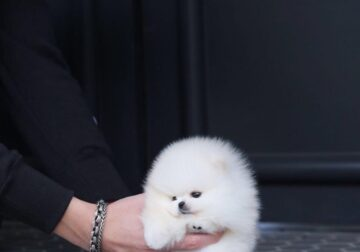 Adorable Toy Pomeranian puppies for sale