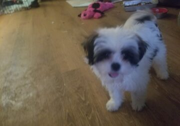 Shih Tzu male puppies small