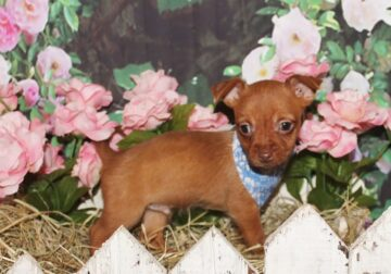 Chorkie puppies Chihuahua and Yorkie mix