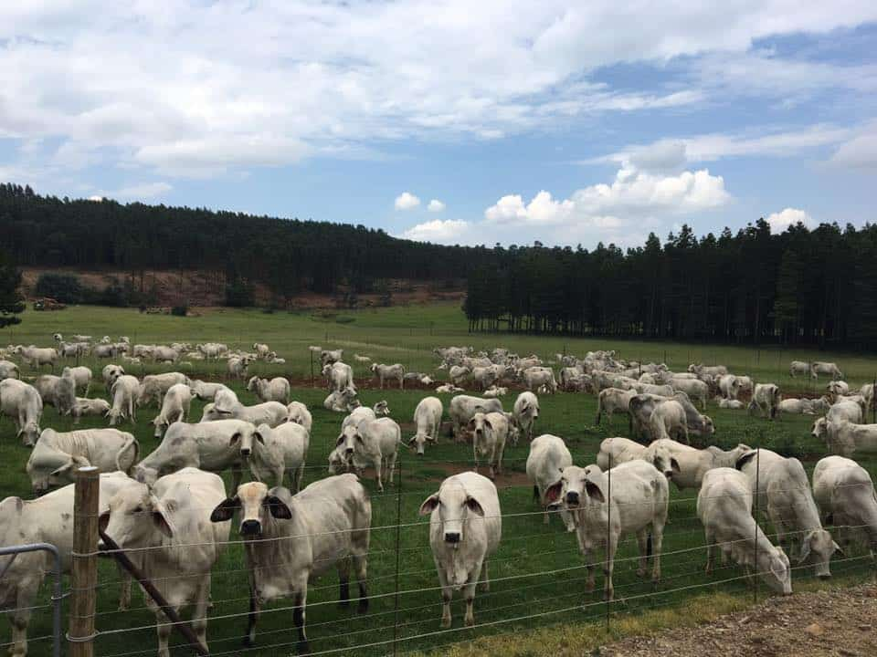 Brahman replacement Heifers, Pregnant Cows and Cow