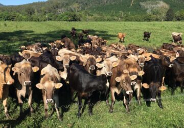 Brown Swiss Heifers with A2 Milk Production