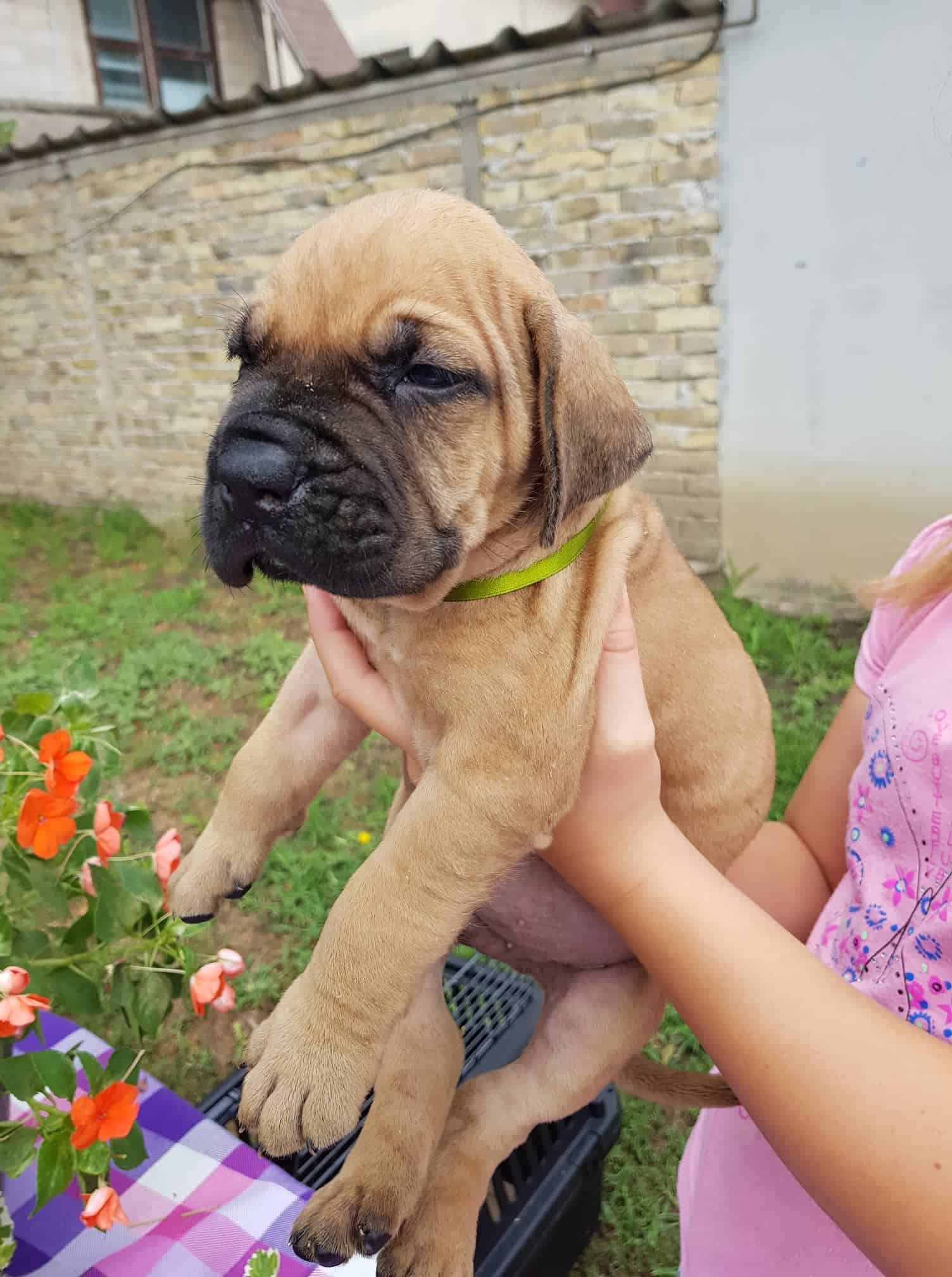 ADORABLE French bulldog puppies available