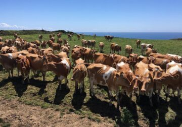 Guernsey Calves, Heifers and Springers