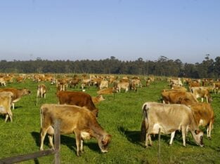 Jersey replacement Heifers and Pregnant Cows