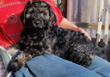Standard Schnoodle Puppies
