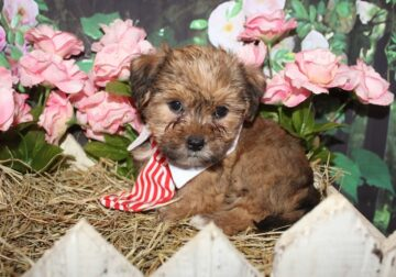 Shorkie puppies Shih Tzu and Yorkie mix