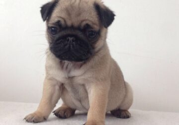 Nice charming pug puppies for sale