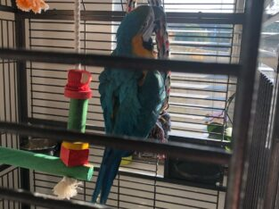 Hand Reared Blue And Gold Macaw Baby